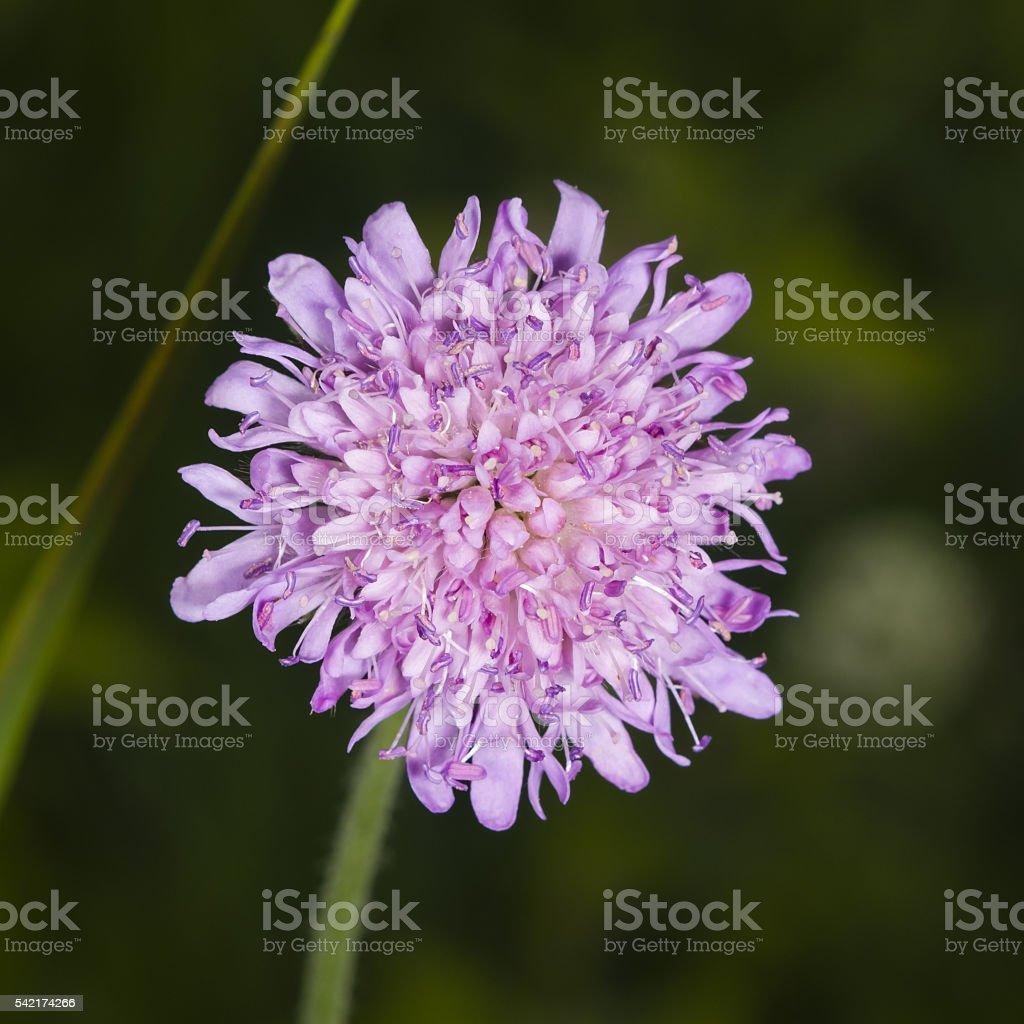 Flower of Field Scabious, Knautia Arvensis, macro, selective focus stock photo