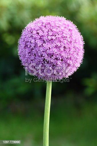 Flower of giant garlic
