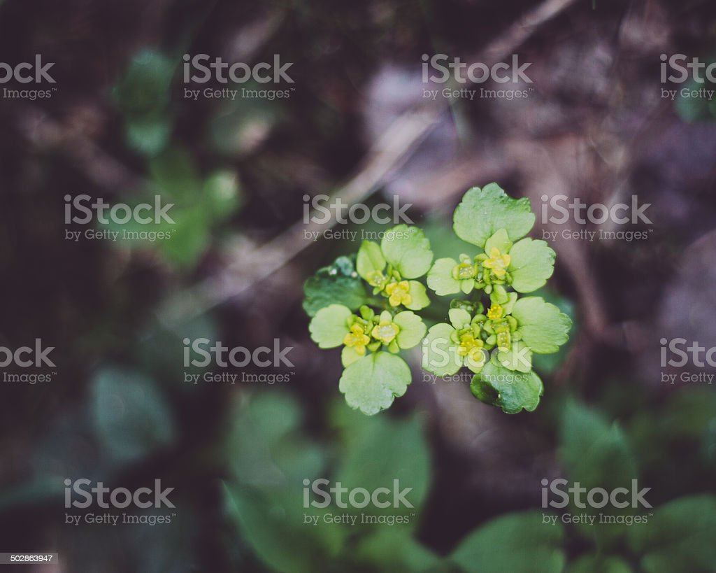 Flower of golden saxifrage in blossom stock photo