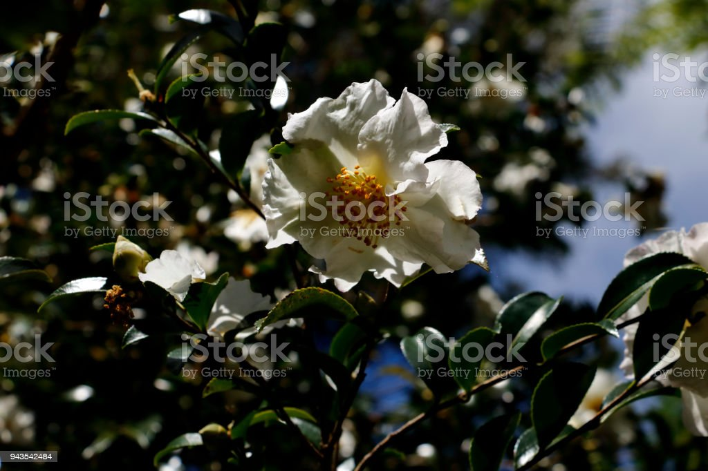Flower of Gordonia axillaris known as Fried Egg Plant stock photo