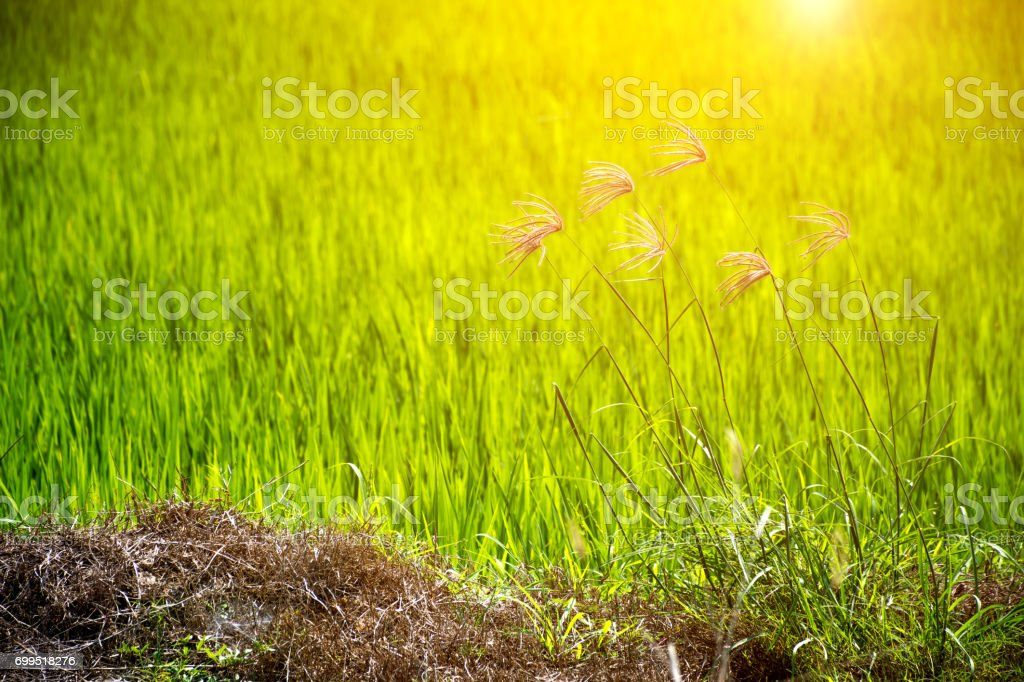 Flower of grass beautiful blooming in nature on foreground and green blurred background on the rice field or rice paddy stock photo