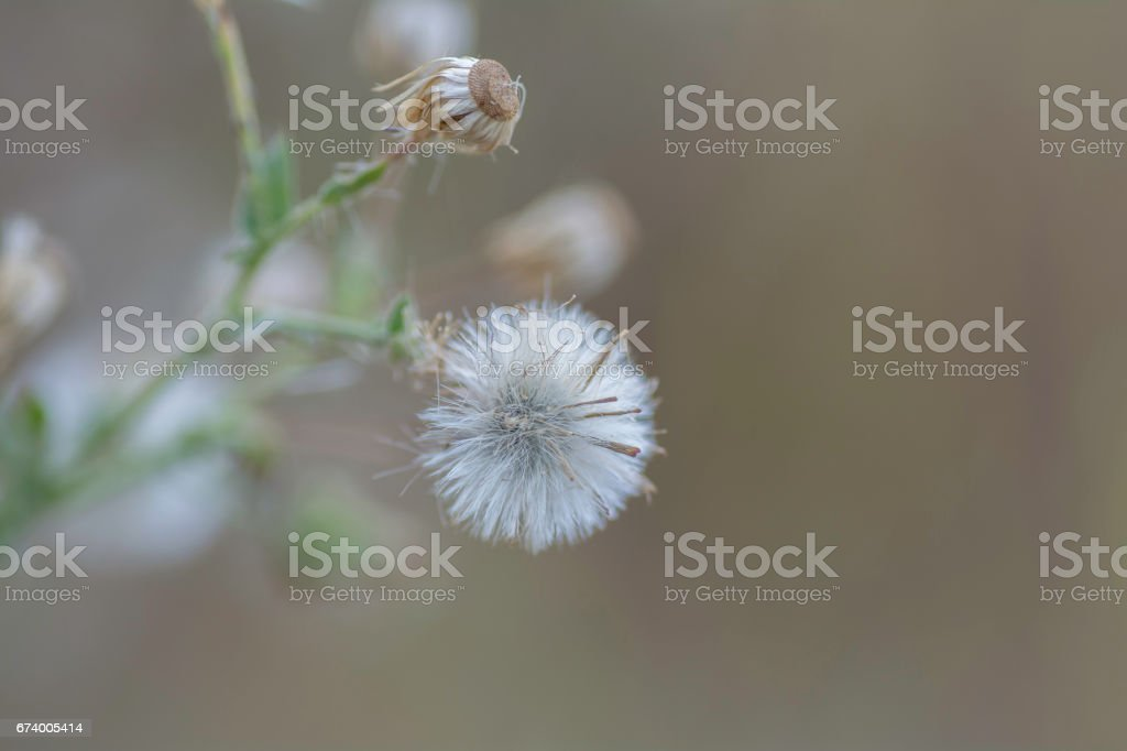 flower of grass .'nwith blurred background. royalty-free stock photo