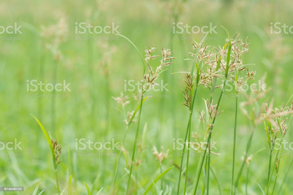 flower of grass on  blurred background. royalty-free stock photo