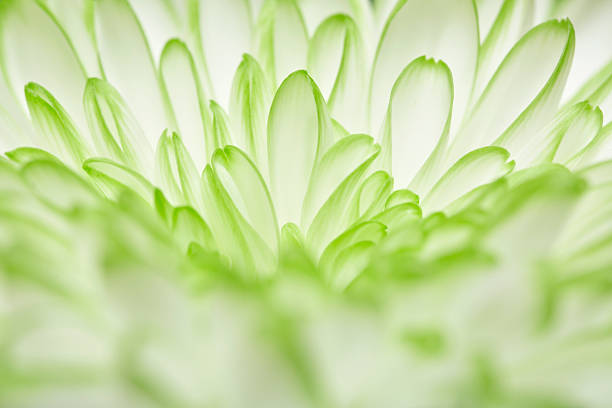 flower of green white annealed Chrysanthemum stock photo