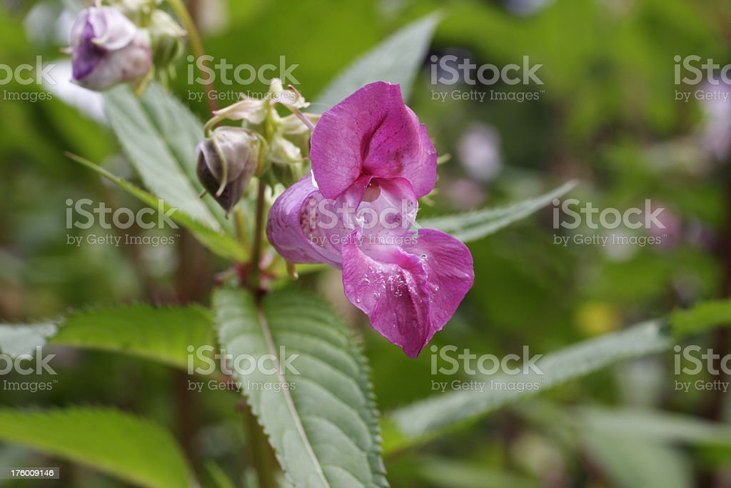 Red flower of Indian balsam Impatiens glandulifera close up stock photo