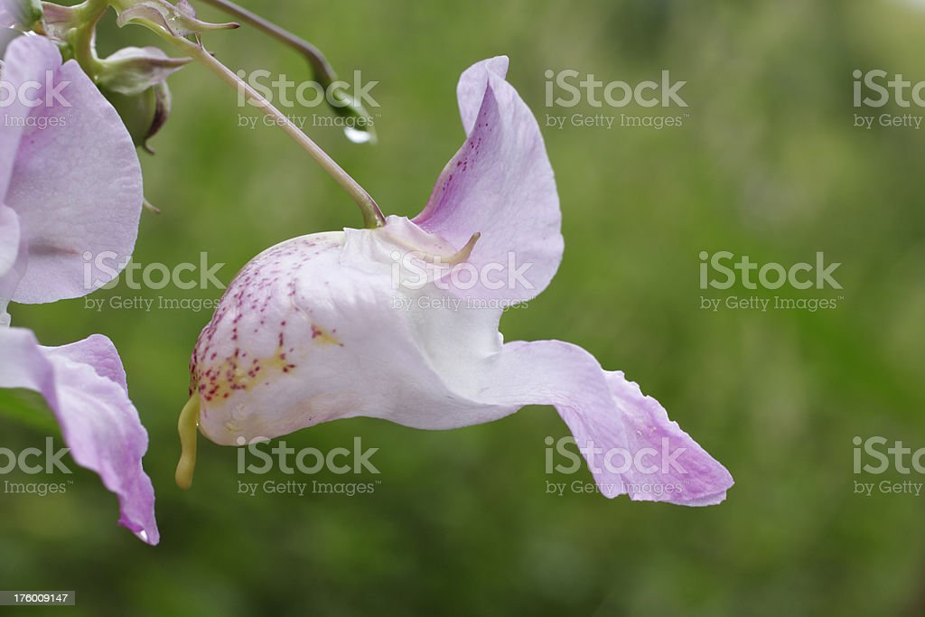 Pale flower of Indian balsam Impatiens glandulifera close up stock photo