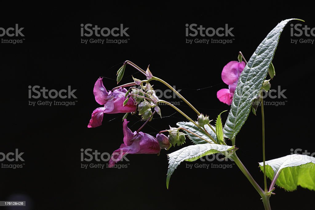 Purple flowers of Indian balsam Impatiens glandulifera and seed pods stock photo