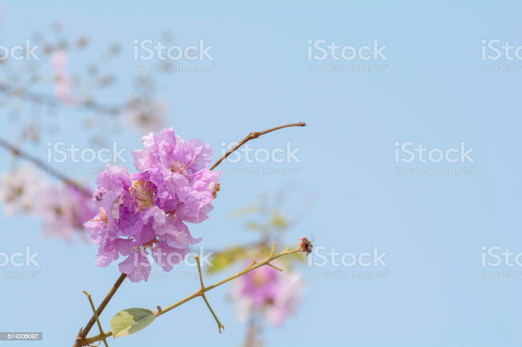 flower of Lagerstroemia on a background sky royalty-free stock photo
