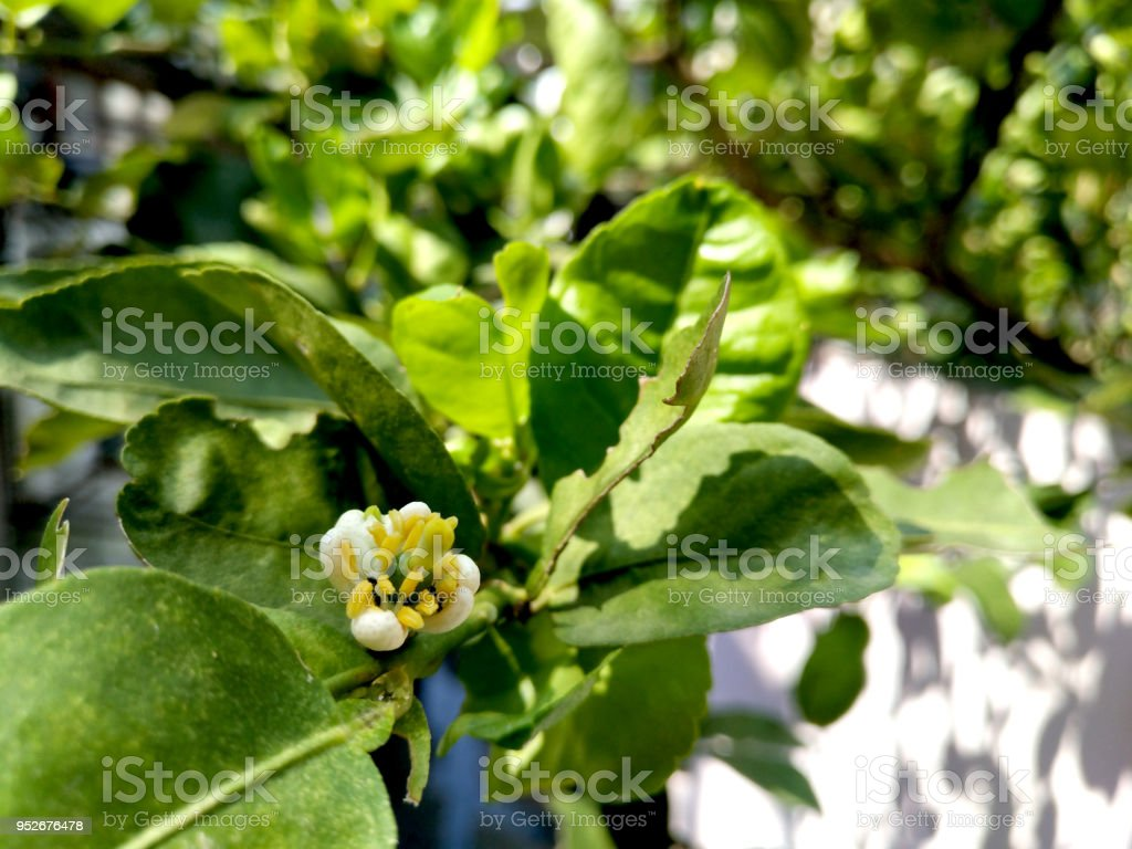 Flower of lime in sun light, blossom started to bloom, have ants helping it to pollinate by walking around the stigma and anther, no pesticide stock photo