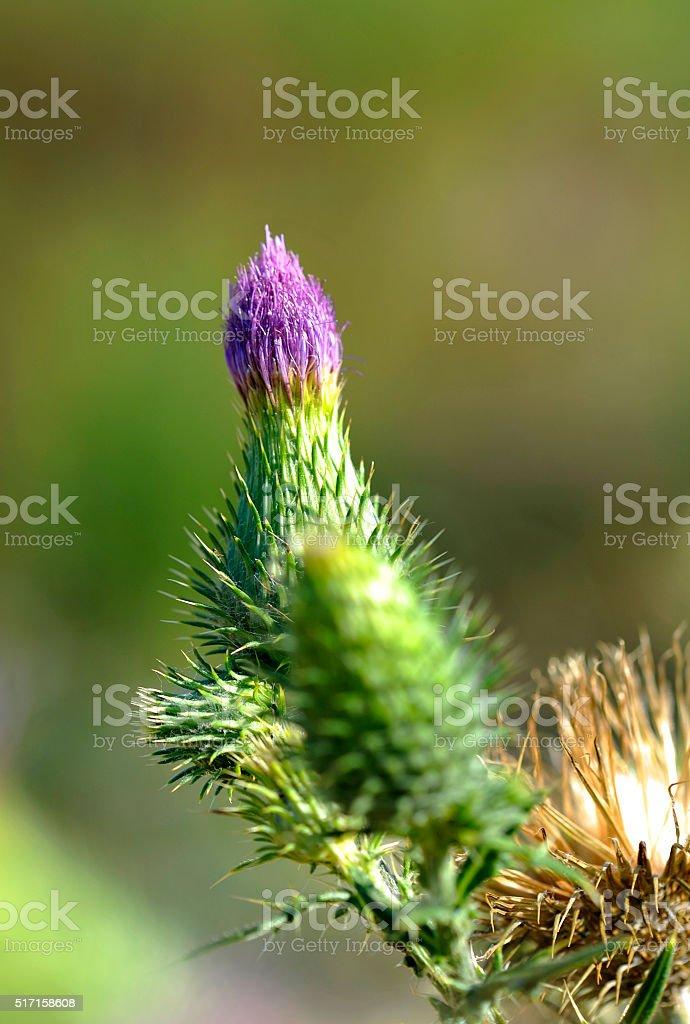 Flower of Luberon - Thistle stock photo