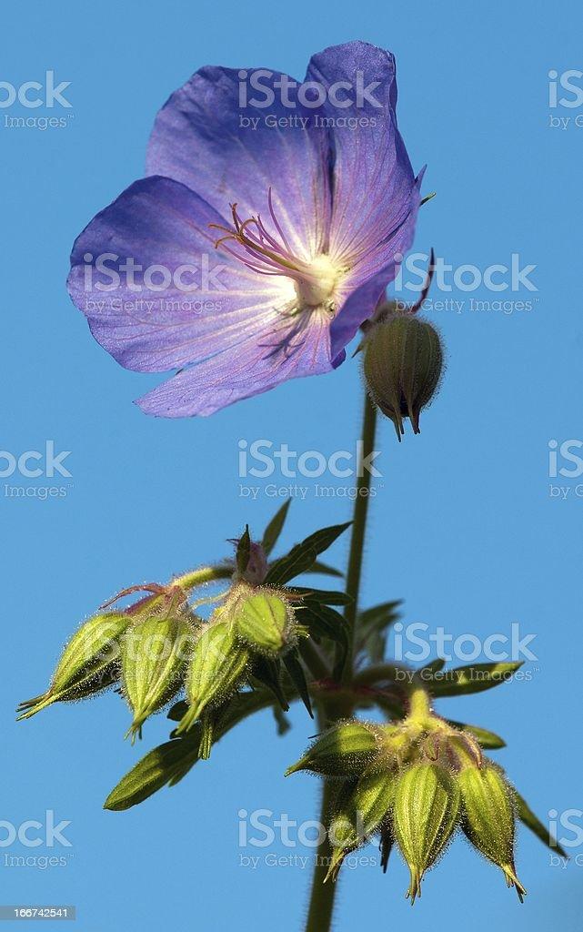 flower of medadow cranesbill - geranium pratense royalty-free stock photo