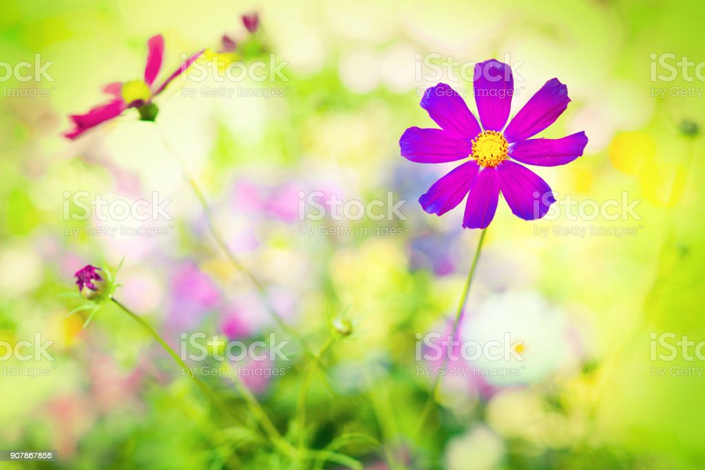 Flower of Mexican aster stock photo