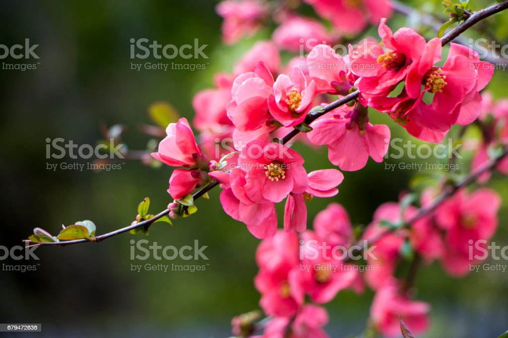 Flower of not forgetting me royalty-free stock photo