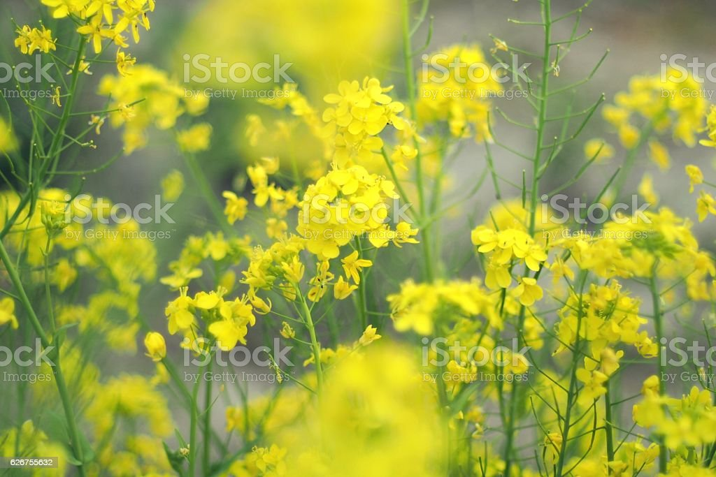 Flower of oilseed rape stock photo