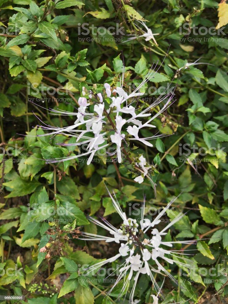 Blume des Orthosiphon Aristatus oder Niere Teepflanze oder Katze die Schnurrhaare Pflanze. - Lizenzfrei Baum Stock-Foto