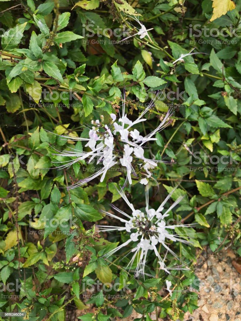 Blomma av Orthosiphonul aristatus eller njur te planta eller kattens morrhår växt. - Royaltyfri Biologi Bildbanksbilder