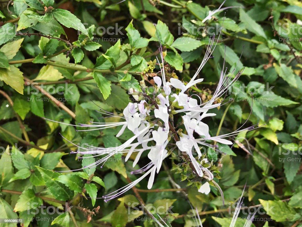 Bloem van Orthosiphon aristatus of nier theeplant of Cat's snorharen plant. - Royalty-free Biodiversiteit Stockfoto