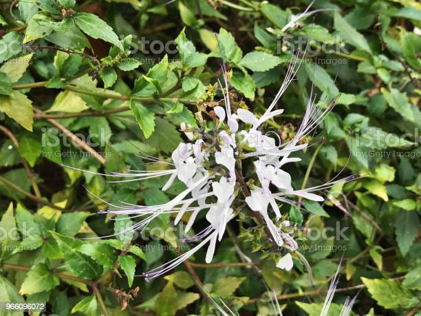 Blomma Av Orthosiphonul Aristatus Eller Njur Te Planta Eller Kattens Morrhår Växt-foton och fler bilder på Biologi