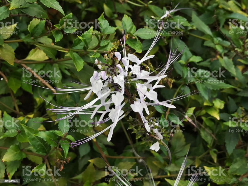 Flower of Orthosiphon aristatus or Kidney tea plant or Cat's whiskers plant. - Стоковые фото Белый роялти-фри