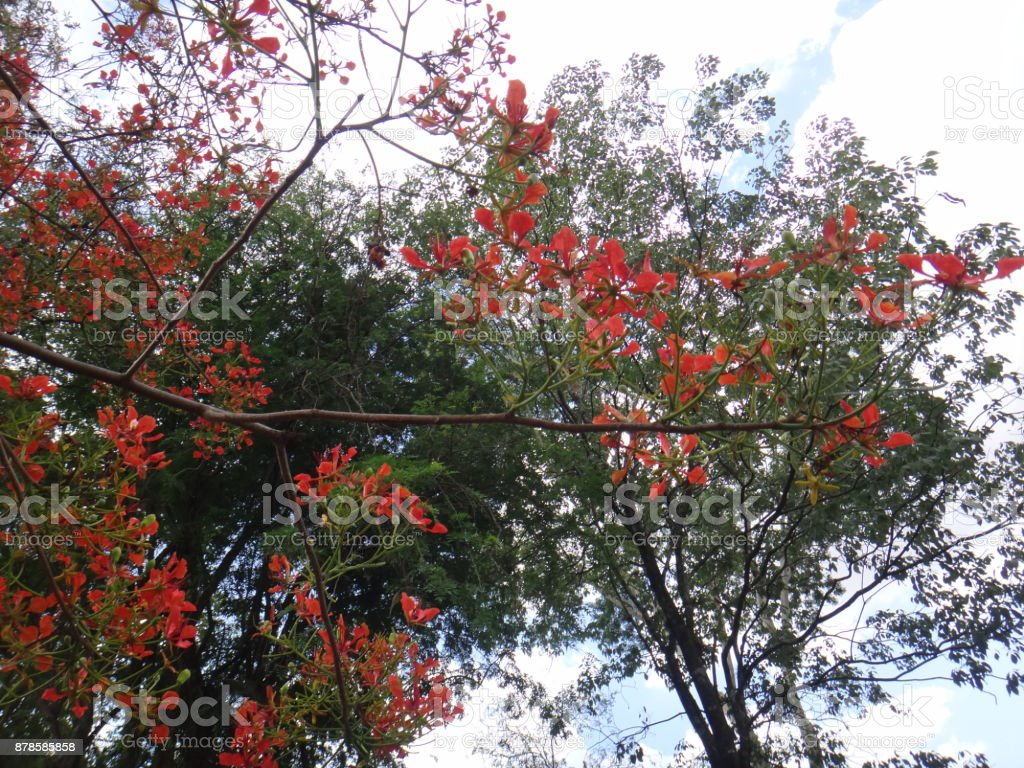 Flower of phoenix tree with blue sky background stock photo more flower of phoenix tree with blue sky background royalty free stock photo izmirmasajfo