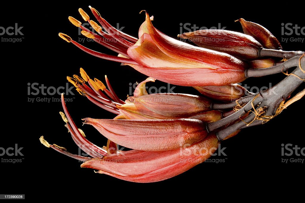 flower of phormium tenax dazzler royalty-free stock photo
