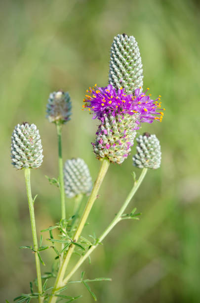 an analysis of the purple prairie clover flower Prairie clover (dalea purpurea purple) - prairie clover seeds are perfect for a meadow, naturalized setting, slopes, or along road sides the dalea purpurea plant prefers a full sun setting and well-drained soil purple prairie clover is a unique perennial that features lavender-purple flowers on slender spikes, and bees absolutely love the clover.