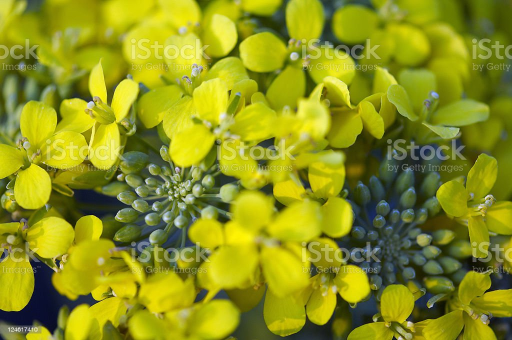 flower of rapini stock photo