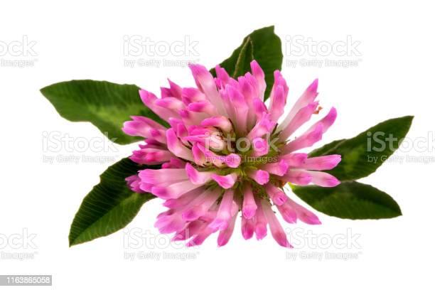 Flower of red clover isolated on white background close up picture id1163865058?b=1&k=6&m=1163865058&s=612x612&h=2net4fe0v hwjei7ihbsk7xxpe0hwvaxj1cpq31lky8=