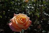 American Rose, Arizona