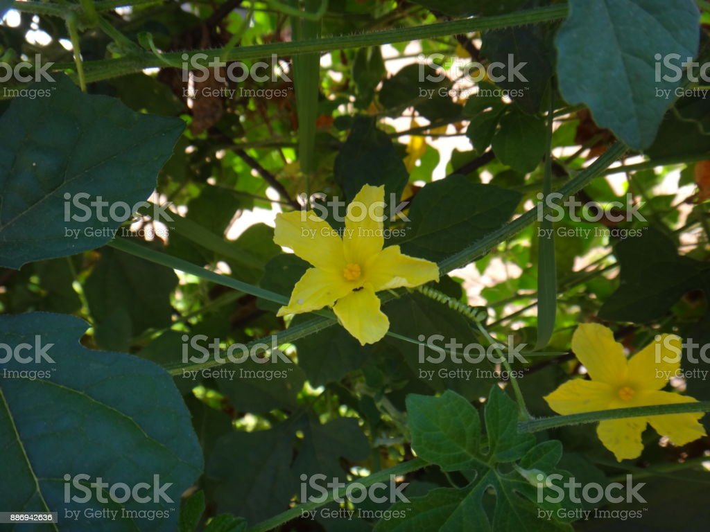 Flower of saint cajetan's melon stock photo