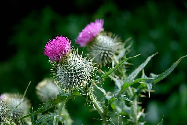 Flower of Scotland stock photo