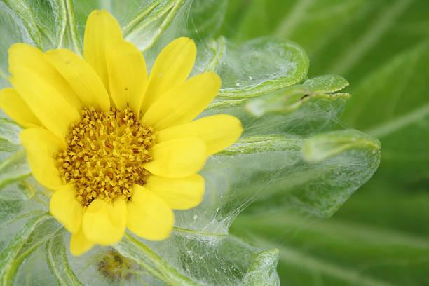 flower of seaside ragwort stock photo