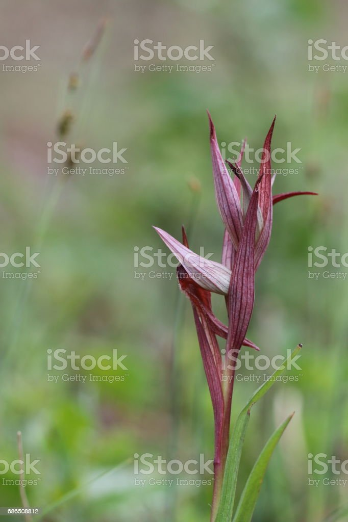 Flower of Serapias orchid. royalty free stockfoto