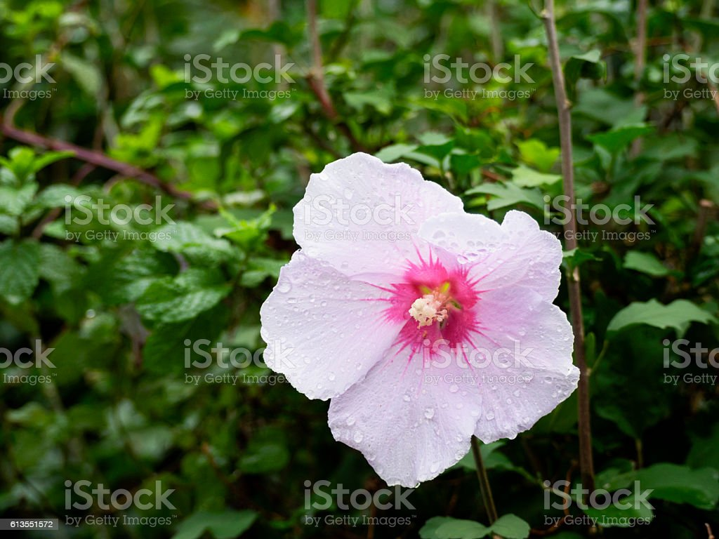 Flower of Sharon getting wet in the rain ストックフォト