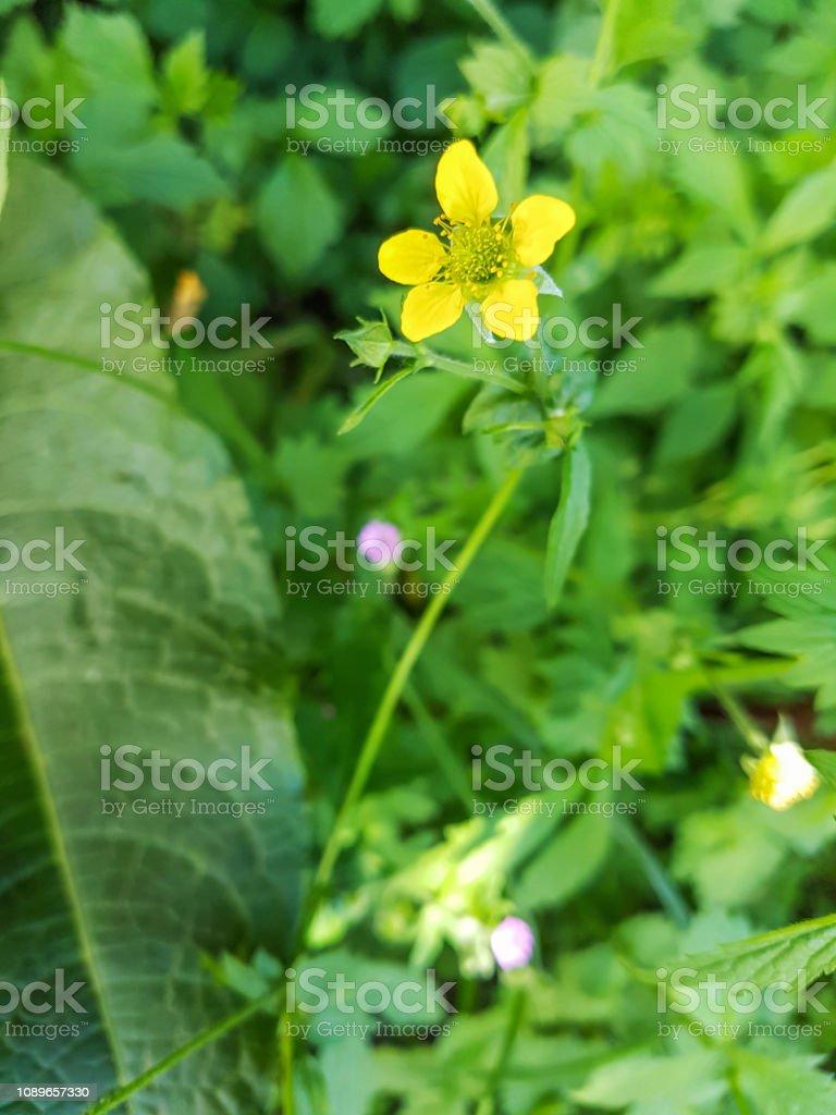 Flor de la hierba de San Benito - foto de stock