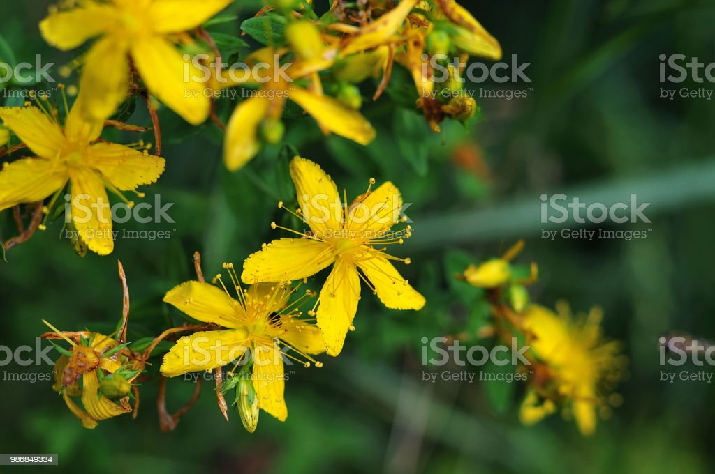 Blume des St. John´s Würze – Foto
