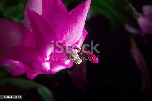 Flower of succulent plant Schlumberger isolated. Christmas cactus. Schlumbergera obtusangola, Schlumbergera russeliana, Schlumbergera opuntioides, Schlumbergera orssichiana, Schlumbergera truncata, Schlumbergera