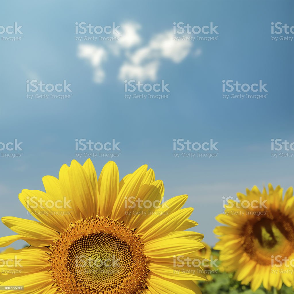 flower of sunflower close up under blue sky royalty-free stock photo