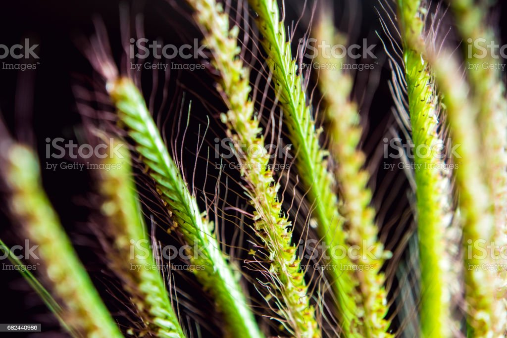 Flower of Swallen Finger grass in black background royalty-free stock photo