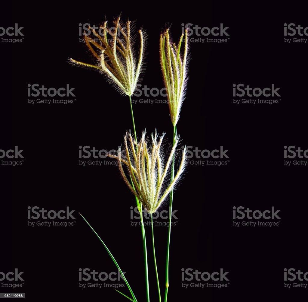 Flower of Swallen Finger grass royalty-free stock photo
