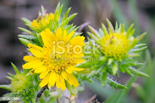 Close up of flower of tarweed or spikeweed, Centromadia pungens. Fremont, California, United States.