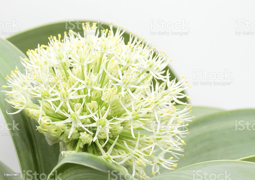 Flower of the allium royalty-free stock photo