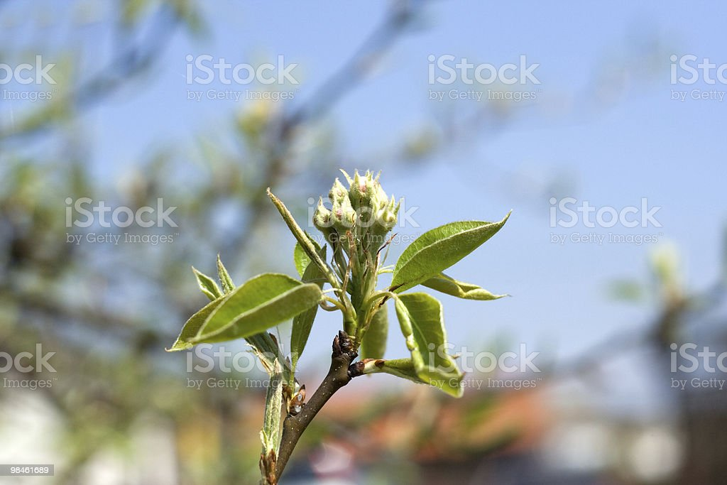 flower of the apple-tree royalty-free stock photo