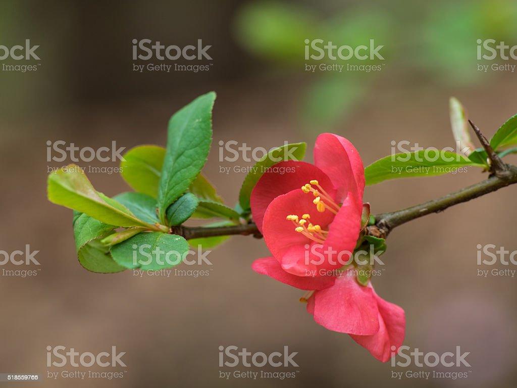 Blume der wunderschönen Zinnoberrot japanische Quitte – Foto