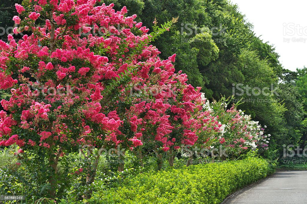 Flower of the crape myrtle – Foto