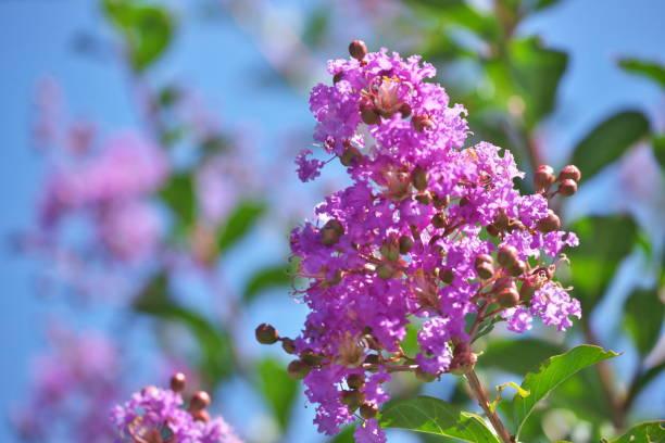 Blume der Krepp-Myrte – Foto