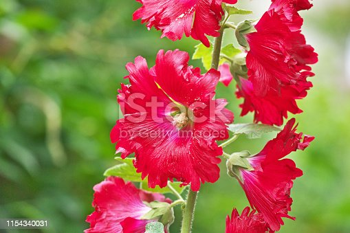 Flower of the Hollyhock