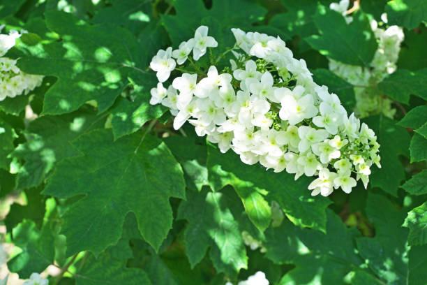 blume der hydrangea quercifolia - eichenblatt stock-fotos und bilder
