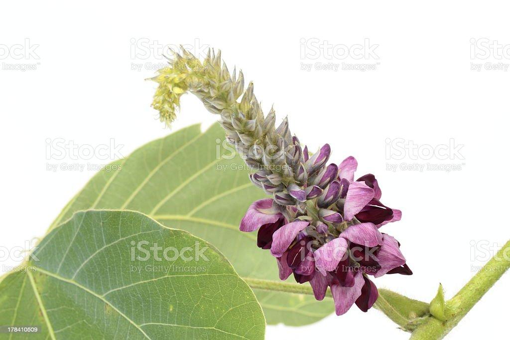 Blume der Kopoubohne – Foto
