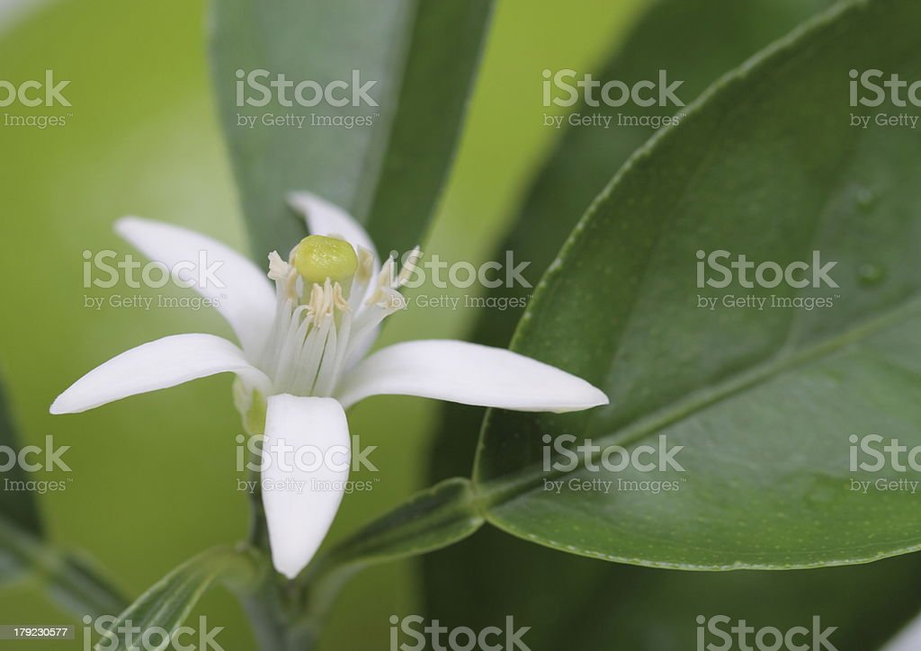Flower of the lime royalty-free stock photo